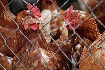 analisis de alimentos alimentacion gallina